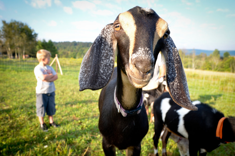 "Meet ""Scout,"" one of the first Nubian goats to come to our farm. She is very verbal and does not like change!"