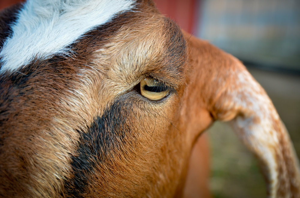 It is not true that goats will eat anything, but they are very curious and are always watching….