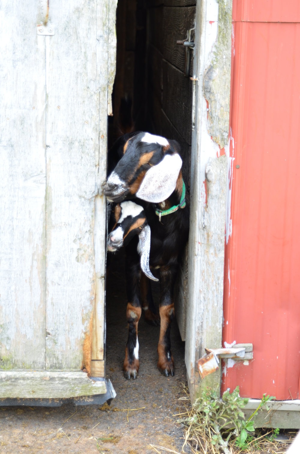 """Kiwi"" and ""Oreo"" peeking out of the barn to see whats going on."