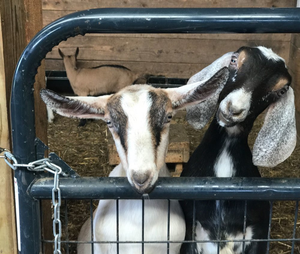 2-Kids-Goat-Farm Goat Fest 2017.jpeg