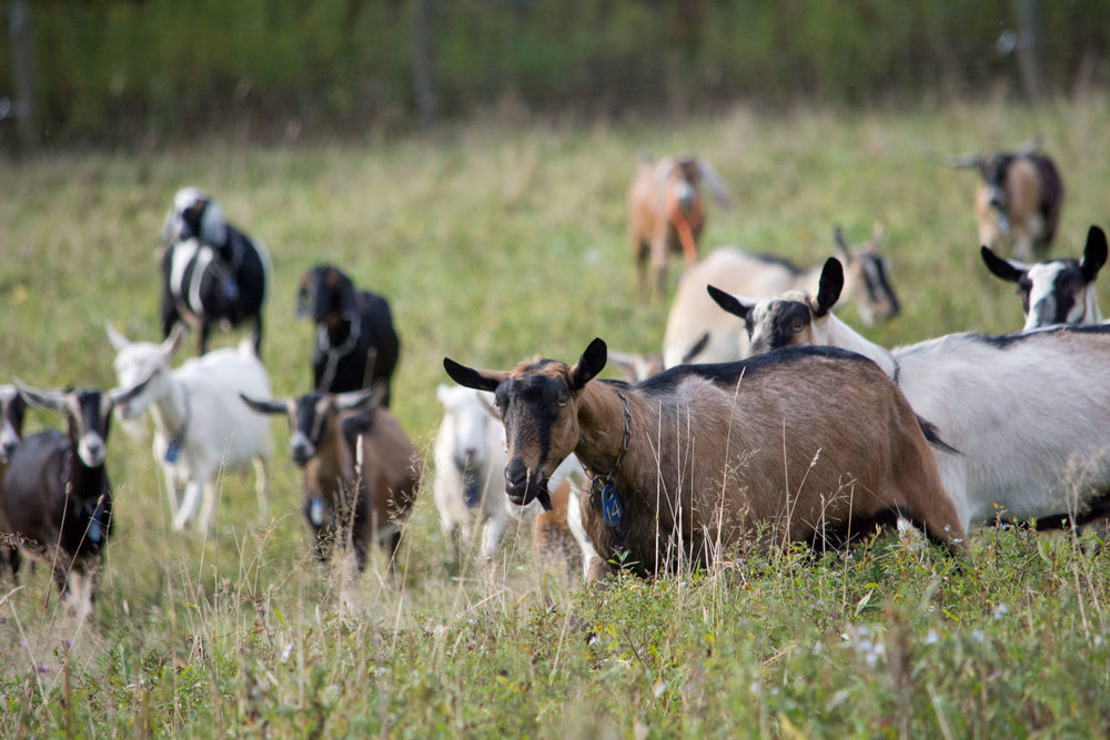 2-Kids-Goat-Farm-Animals-3.jpg