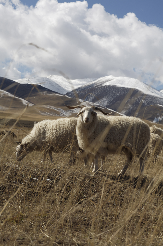 Sheep grazing on the Tibetan Plateau