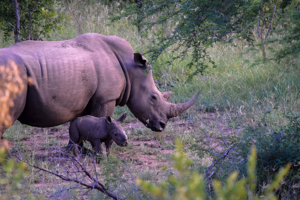 How adorable is this baby rhino?! Only 3 days old!!! |RHINo - big 5|