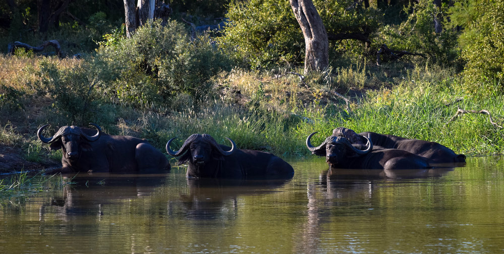 they clearly picked up some hairstyle tips from george washington =) =)  |Cape buffalo - big 5|