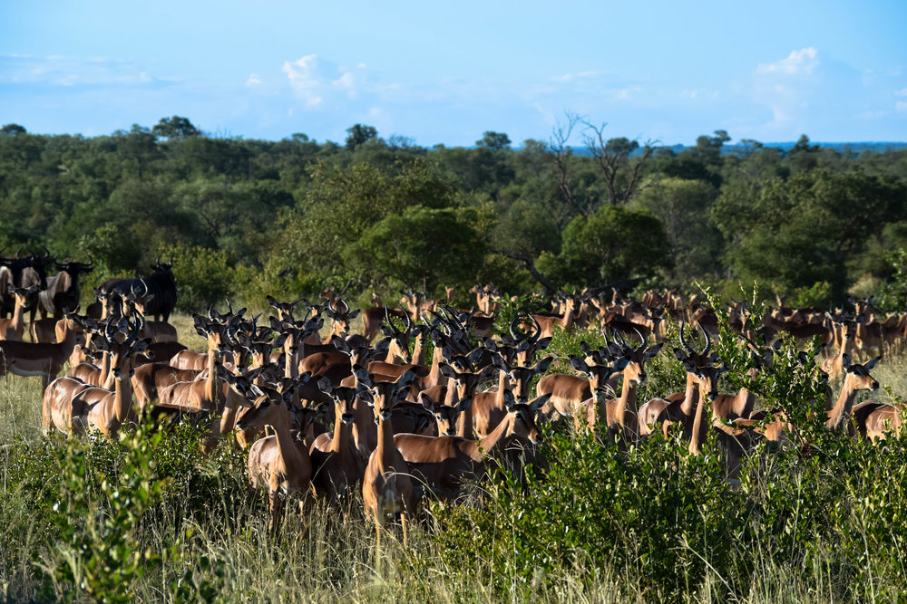 impala sending distress calls to warn others that a predator was near by .  Such a unique experience |Herd of impala|