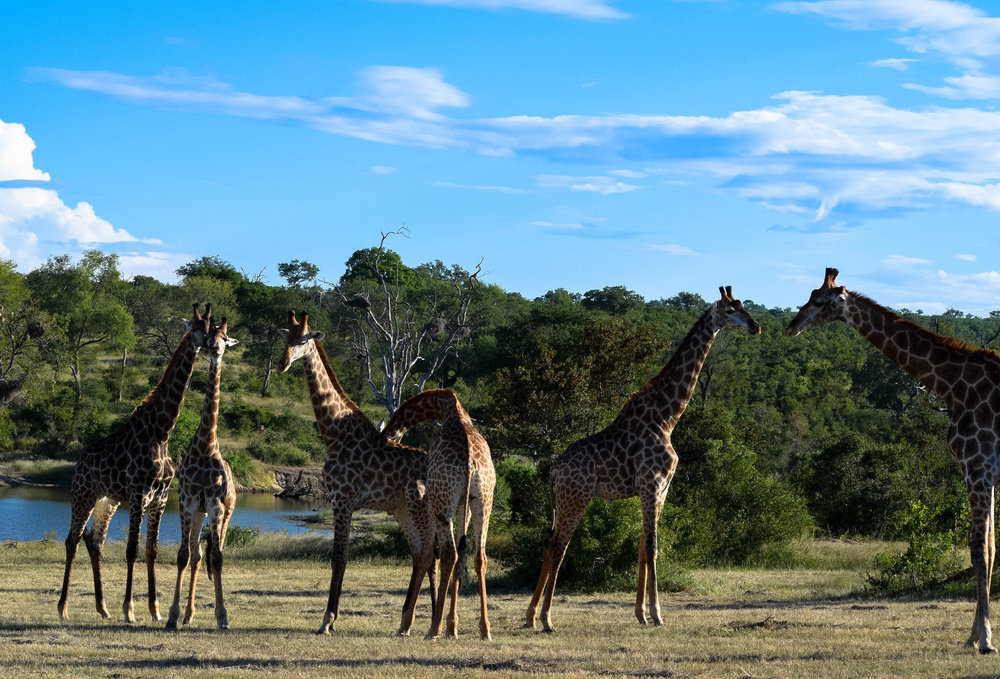 blown away by how gentle and quiet these animals are. so much fun to watch |tower of Giraffes|