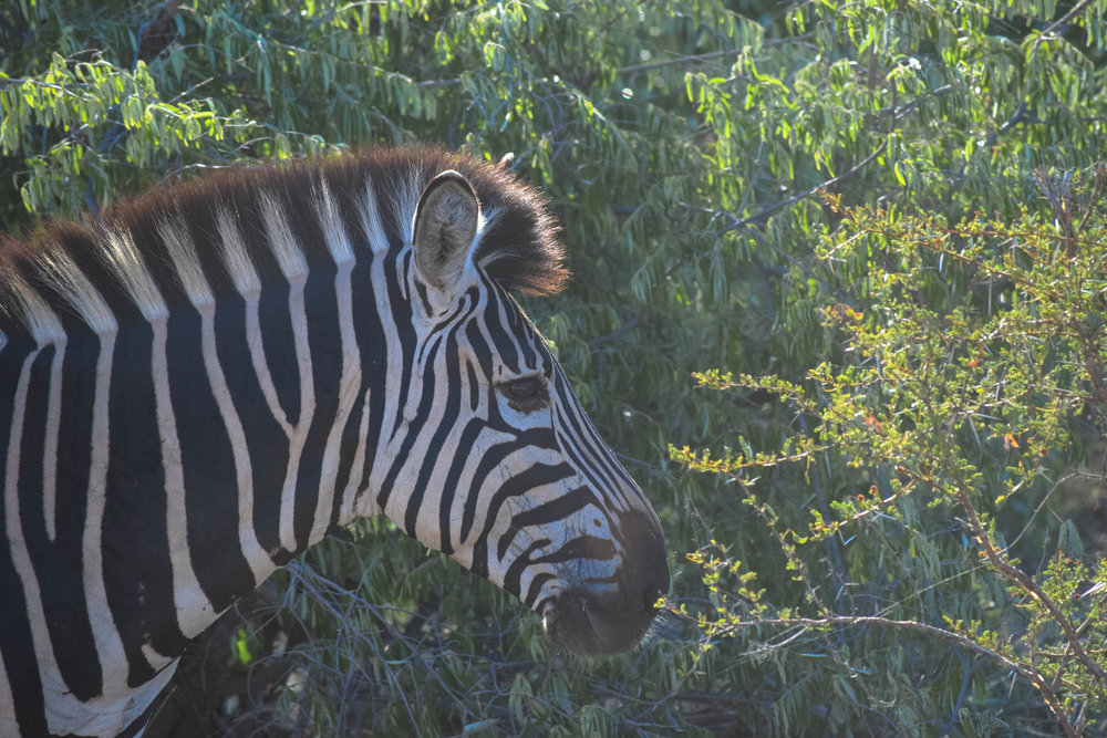 fun fact: every zebra has a unique stripe pattern, no two are the same |zebra|