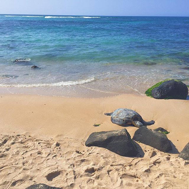 Any Finding Nemo fans out there? Yes, I love Disney movies. Obsessed with Crush, the surfer dude, turtle. Driving up to the North Shore you could always find these beautiful Honu (green sea turtles) sun bathing at Laniakea Beach. 🐢🌺 *NEW blog post of the best beaches on Oahu. Link in bio - ✌️Rae