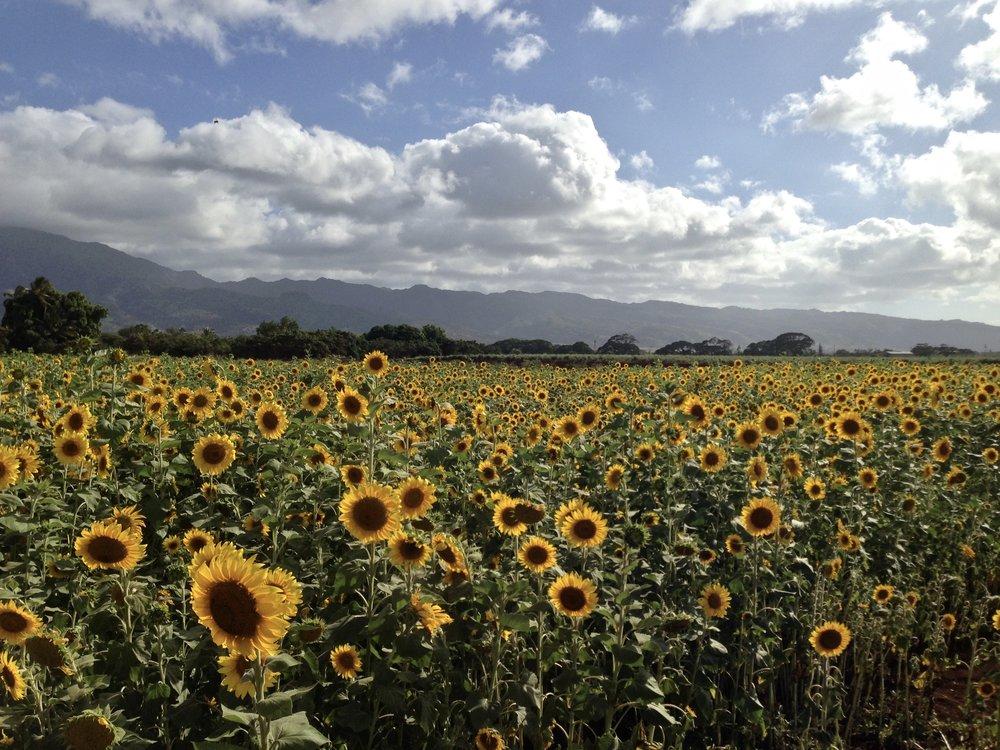 Sunflower Field Oahu