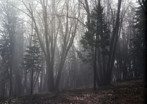 Fog and trees_1