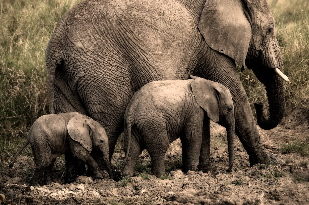 Elephants in Tanzania by Jim Richardson
