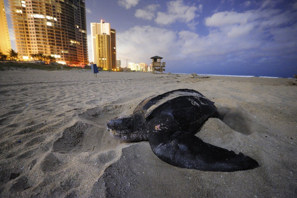 LIGHT POLLUTION IMPAIRS TURTLE NESTING, FLORIDA