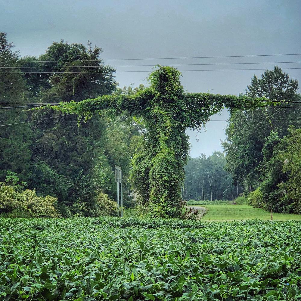 Kudzu Man, Lancaster VA by Dennis Dimick