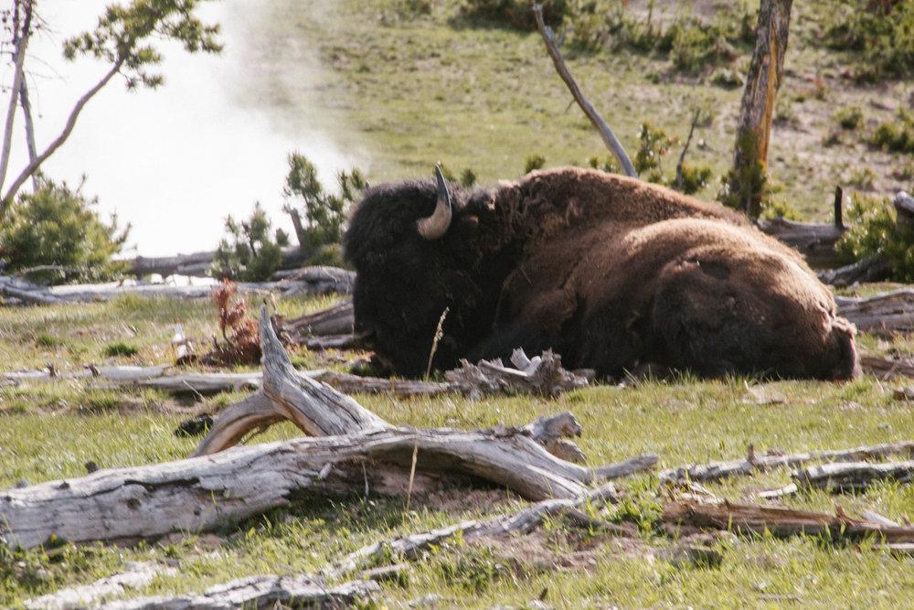 buffalo (1 of 1) (1).jpg