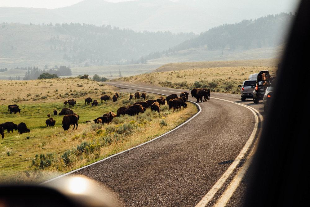 buffaloindaroad (1 of 1).jpg
