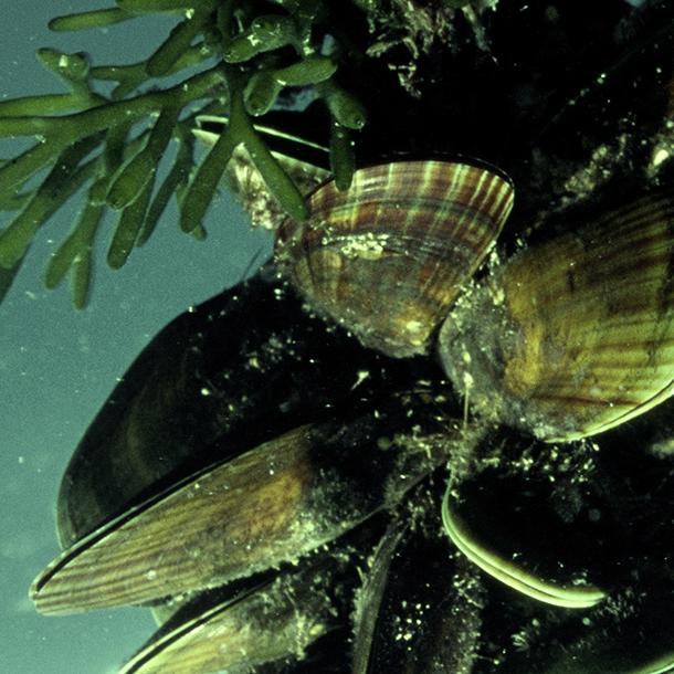 mussels-aquaculture.jpg