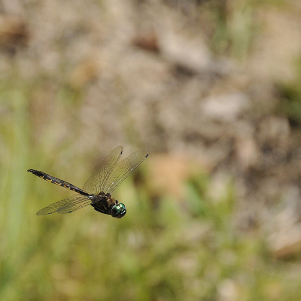 """This photograph of the New Zealand Bush Giant Dragonfly,  Uropetala carovei , was taken by  our Geospatial Services Manager, Christian Utech , and appears on our new  """"Our Story""""  page."""