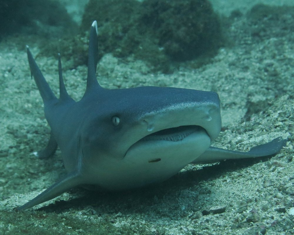 Most species of sharks pose little to no threat to humans. This white tip reef shark is most often seen lounging underneath a rock, pulling water through its mouth over its gills on the bottom of the ocean.