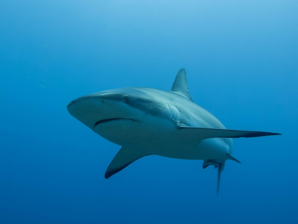 This Caribbean grey reef shark plays a crucial role in not only the immediate ecosystem surrounding it, but in the entire ocean's health, and subsequently the Earth as a whole.