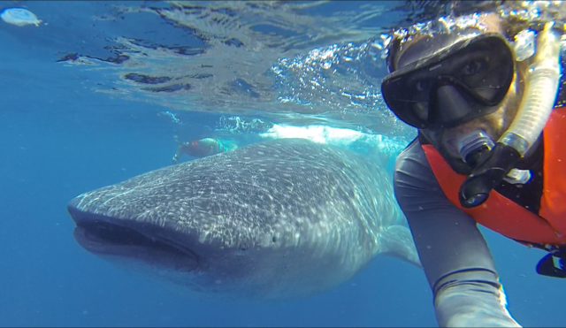 Most sharks pose no threat to humans. This whale shark, the largest fish in the ocean, eats some of the smallest creatures, plankton, by filtering them from the water through its huge mouth. Swimming with a whale shark is a great way to overcome your fear of sharks, since they are such gentle giants!