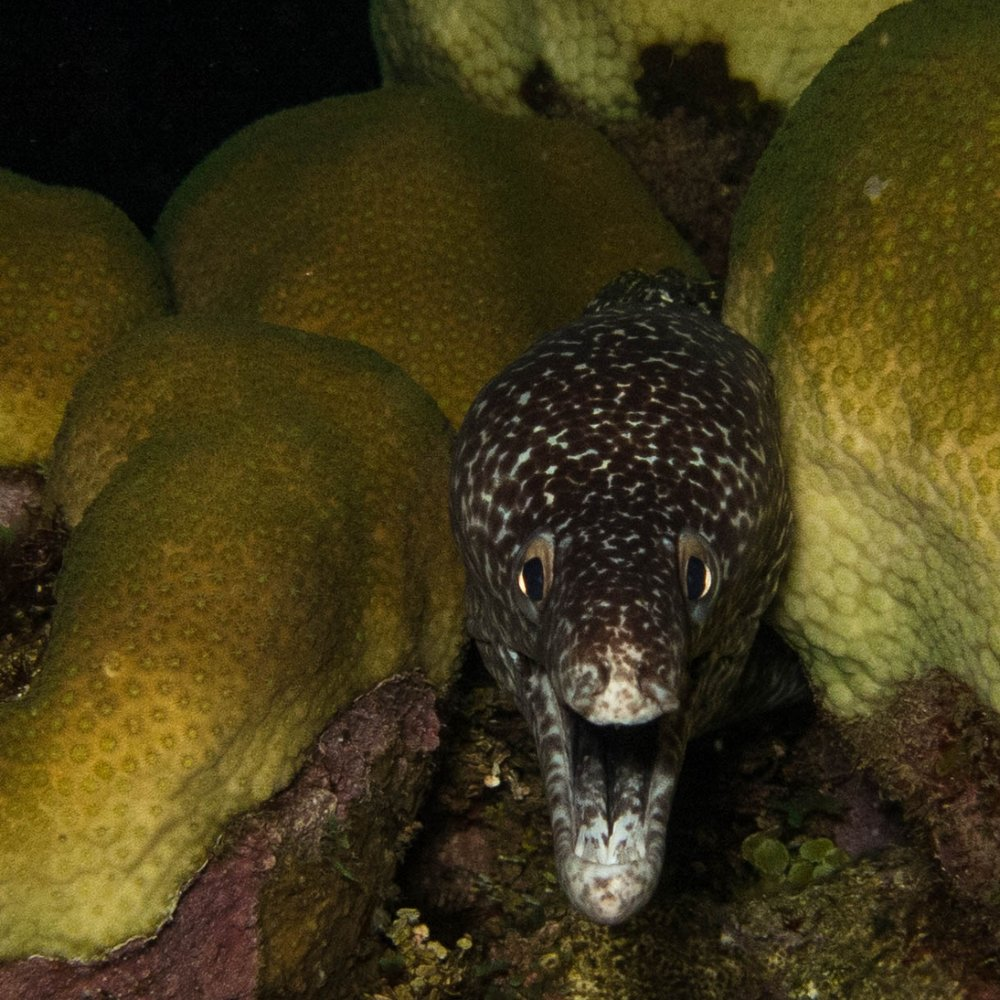 A black spotted moray emerges from a group of star corals, the exact species of coral we intended to watch have sex.