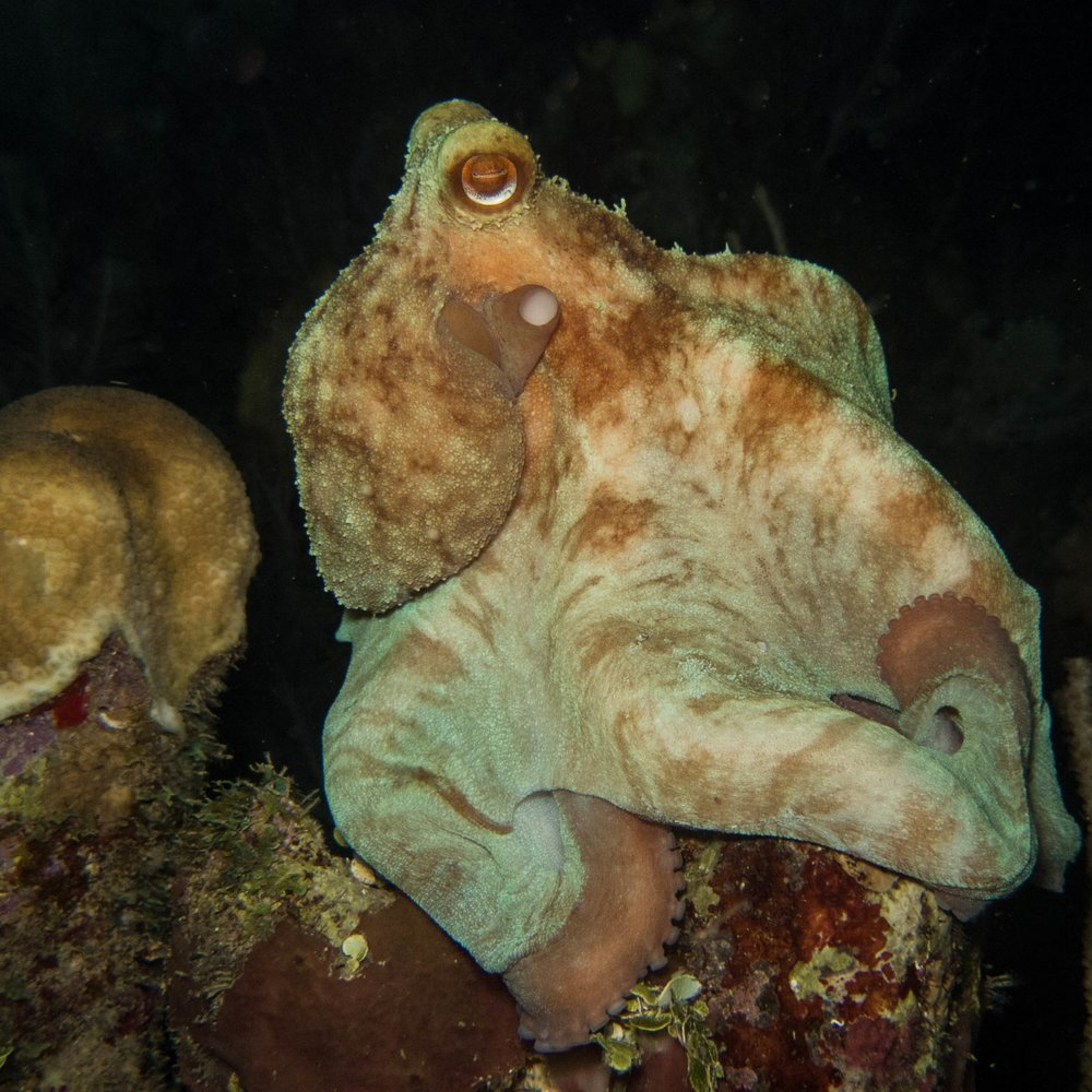 This octopus is perched on a star coral (seen in the lefthand side of the frame), one of their favorite places to hunt.