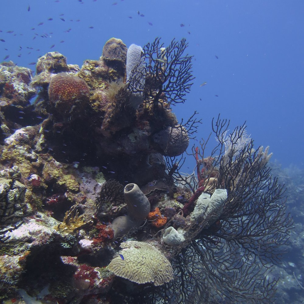 This reef scene in Roatan, Honduras, shows a dazzling array of corals, sponges and other marine life all vying for the chance to mate.