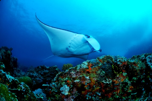Raja Ampat is home to lots of big pelagic animals like manta rays, whale sharks and many others.