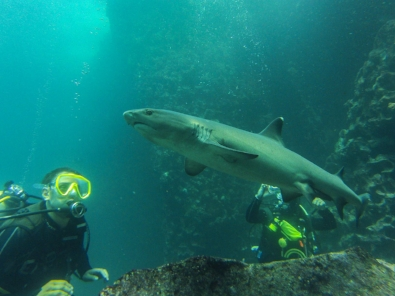 Shark encounters are very common during diving around the Galapagos Islands. Pictured here is a diver with a small white-tip reef shark, but you may see schooling hammerheads, whale sharks, Galapagos sharks, black-tip sharks and many more.