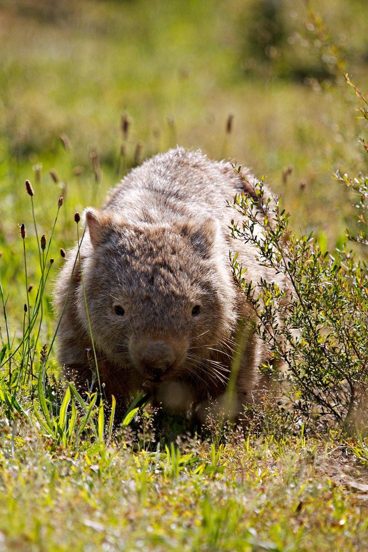 Wombat Portrait