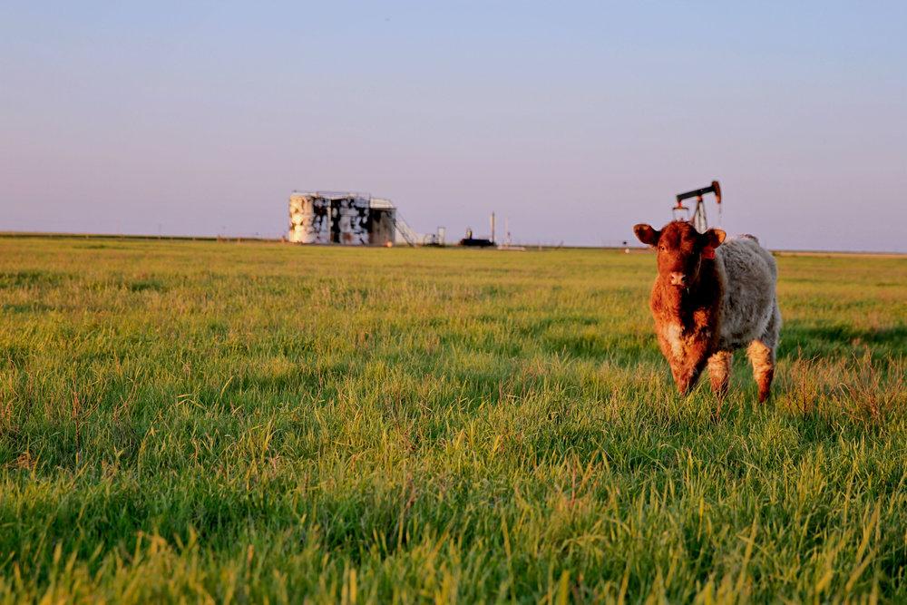 cattle5.jpg