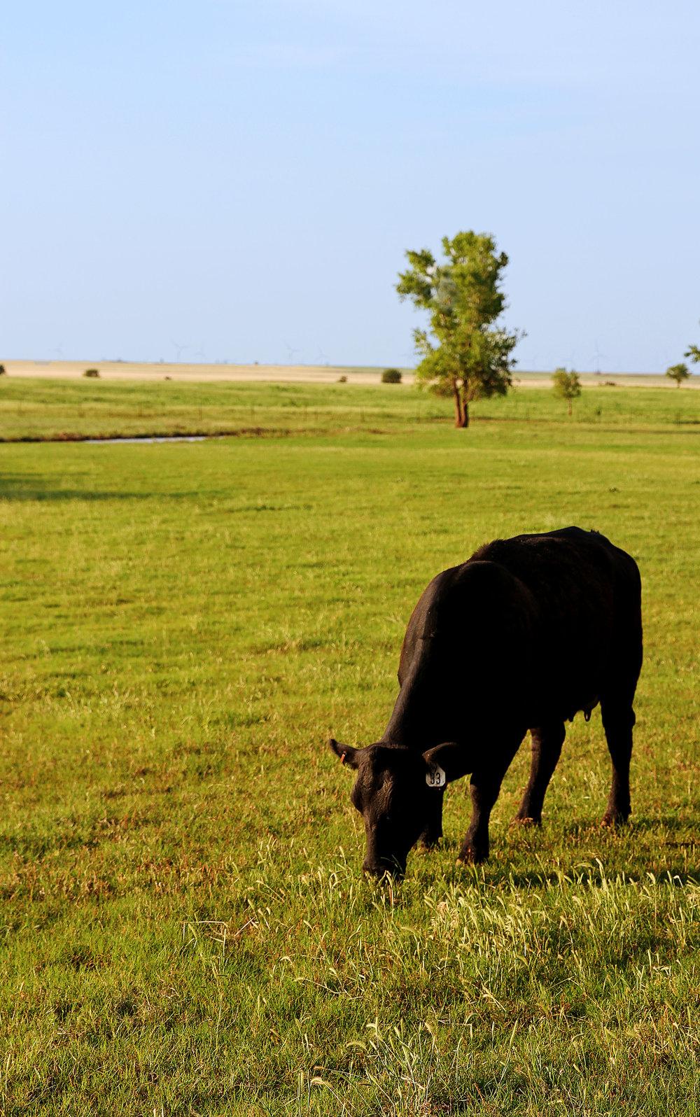 cattle8.jpg