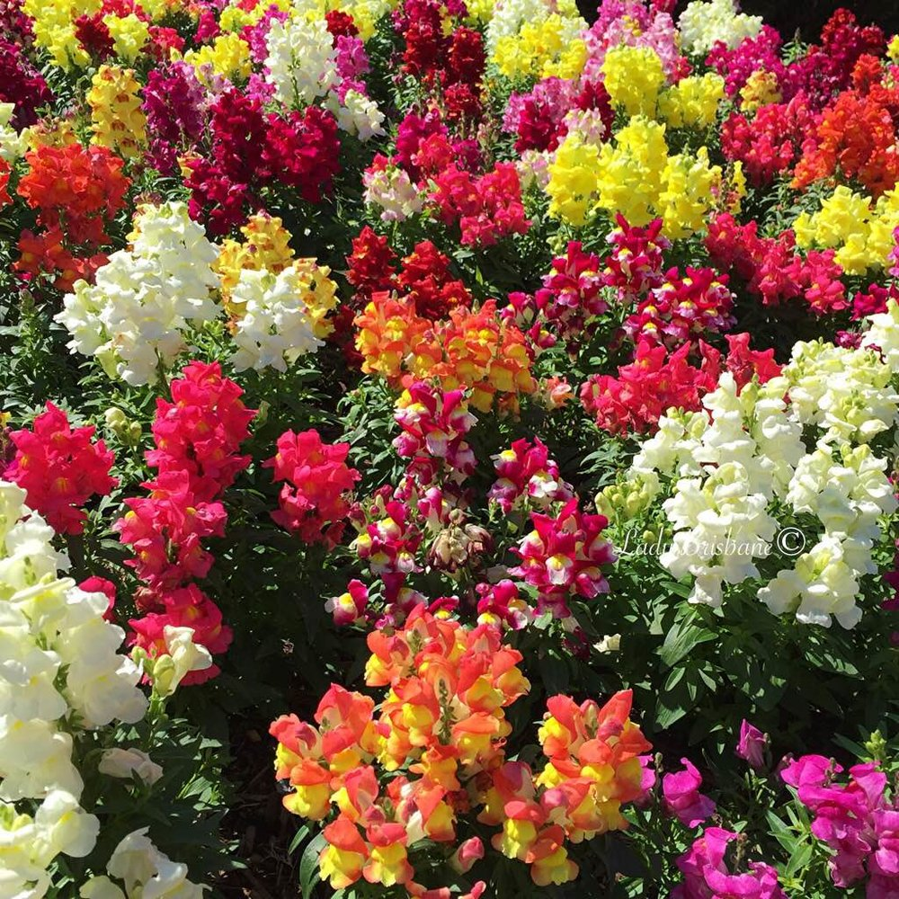 Stunning vibrant beds of Snapdragons