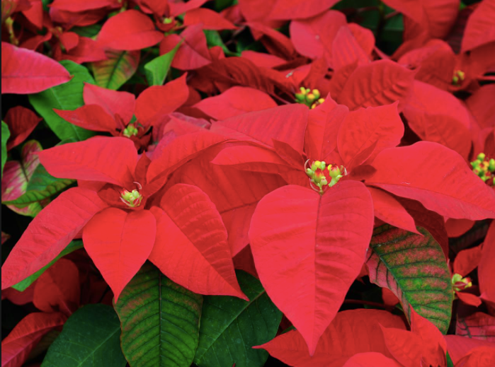 Brisbane's floral emblem - The Poinsettia