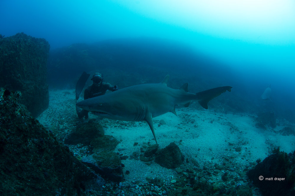 getdownfreediving grey nurse shark byron.jpg