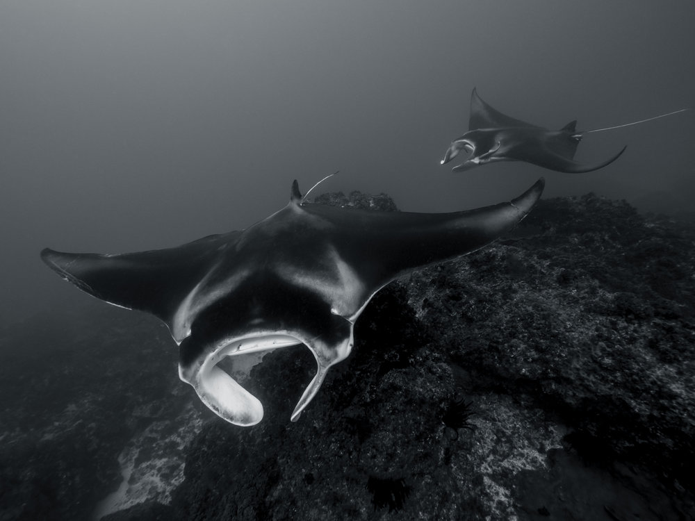 manta rays byron getdown freediving.jpg