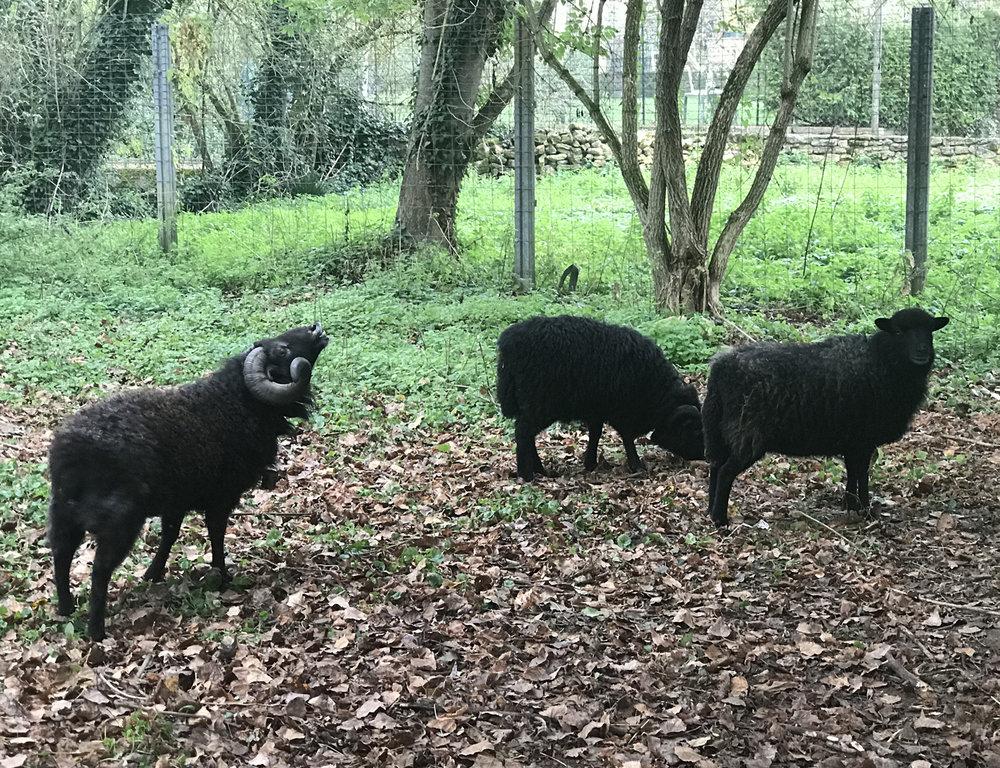 sheep flehman S.jpg
