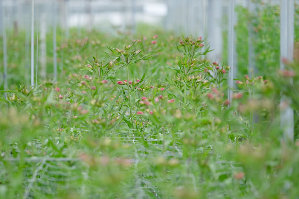 Alstroemerias growing at Crosslands Nursery