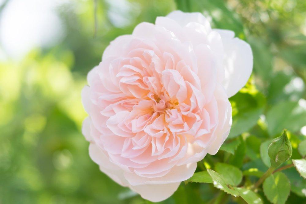 Rose for June invite.jpg