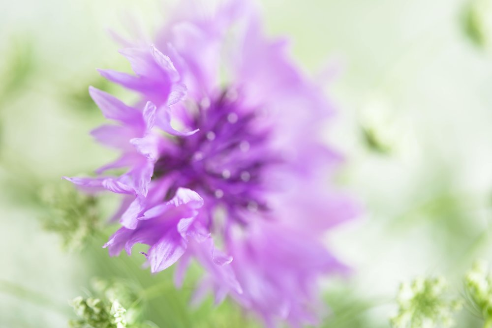 Purple cornflower.jpg