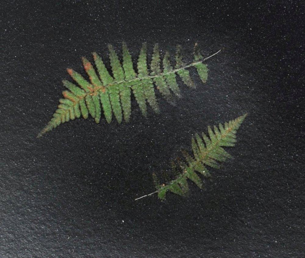 Ferns-2.jpg