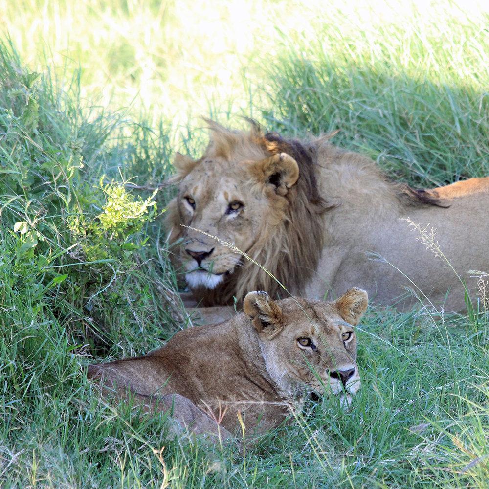 lions-1500px.jpg