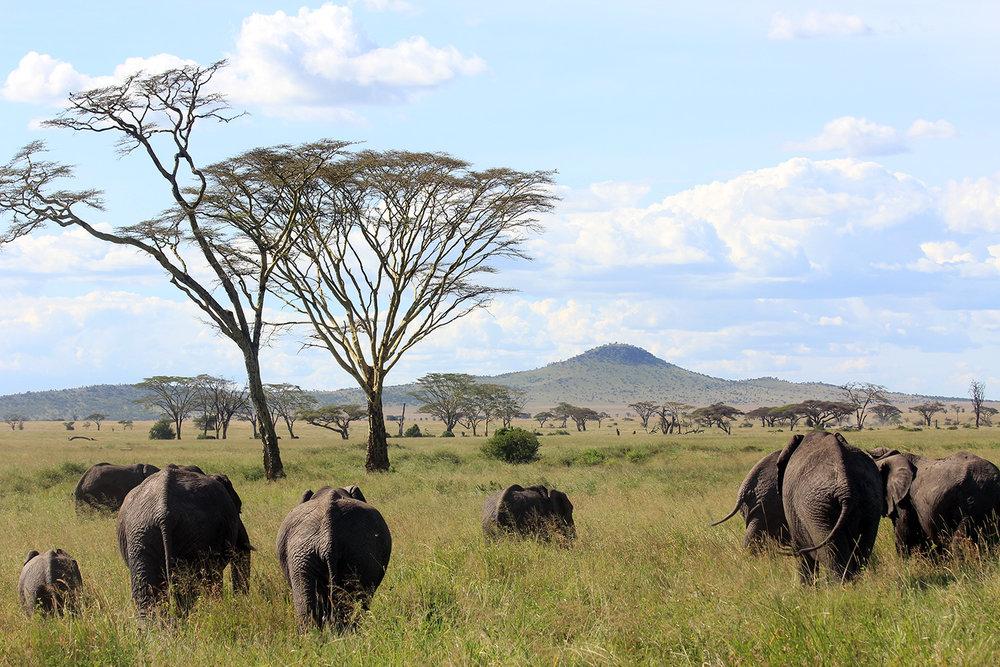 safari_heardofelephant_1500.jpg
