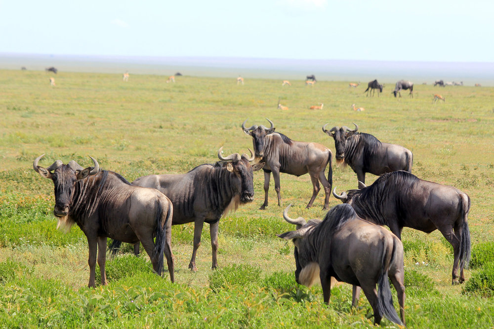 safari_buffalo2_1500.jpg