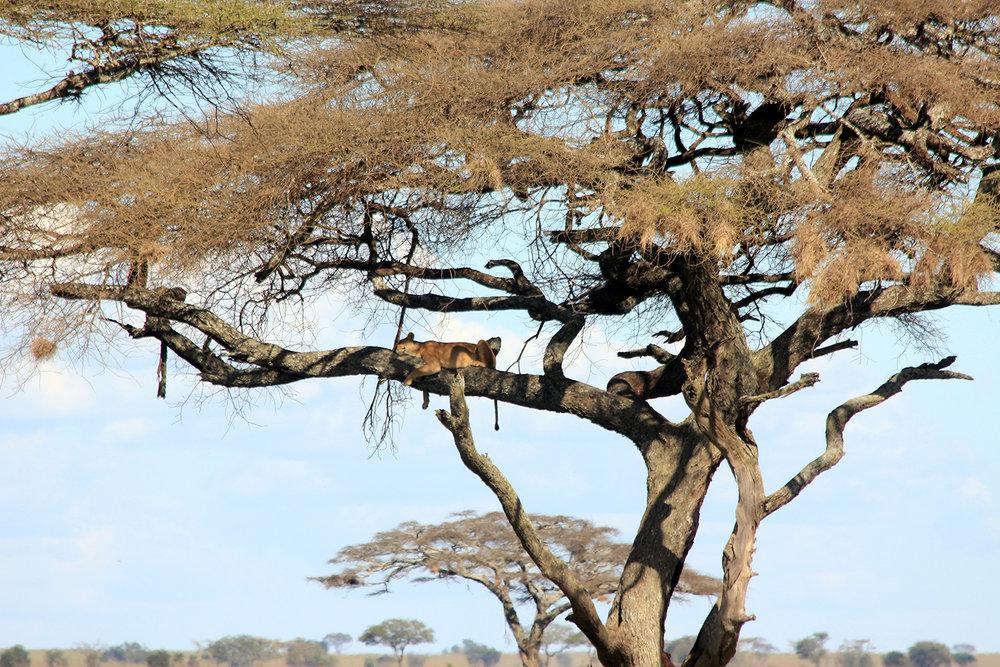 safari_catintree_1500.jpg