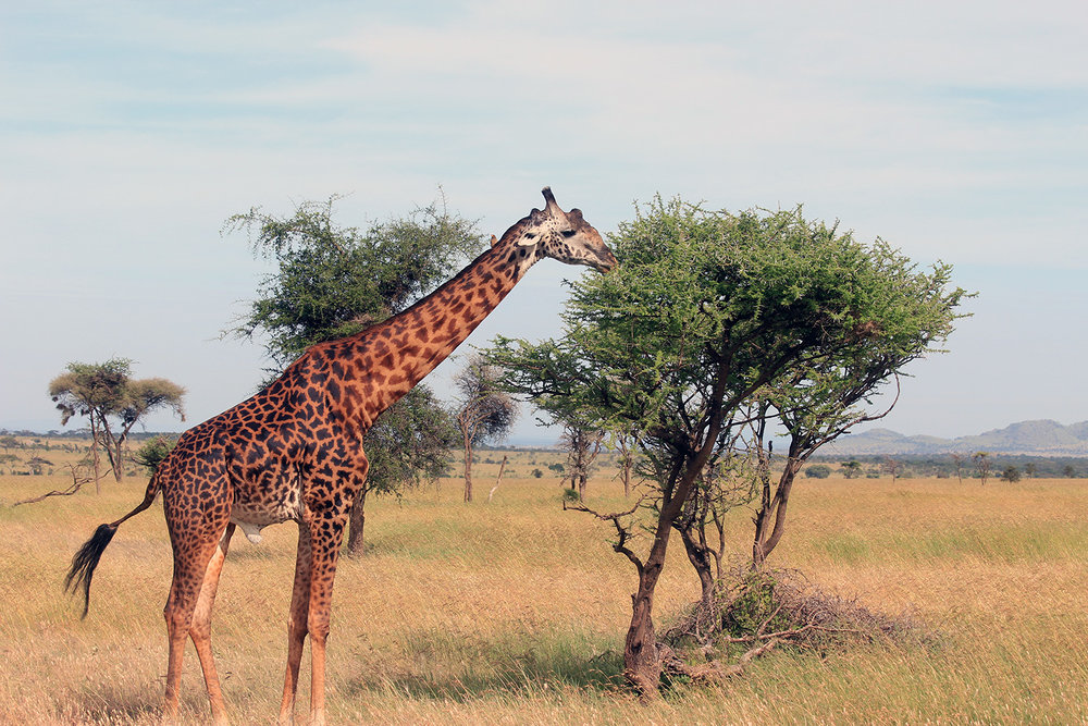 safari_giraffe_1500.jpg