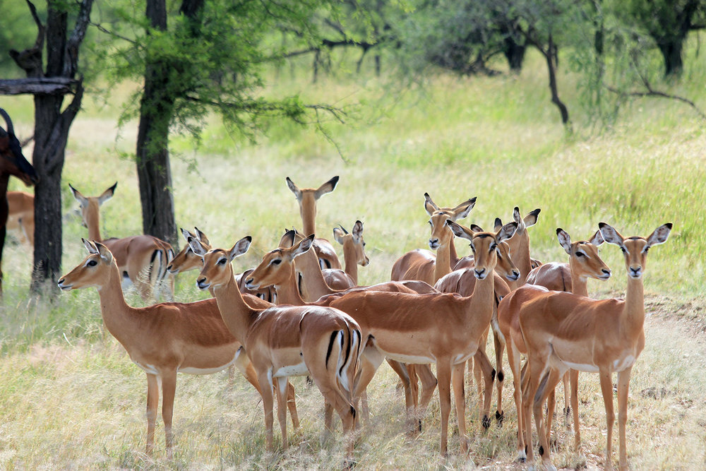 safari_manybeasts_1500.jpg