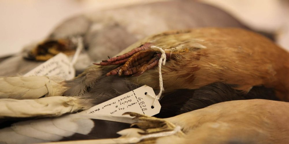 PASSENGER PIGEON - BURKE MUSEUM, SEATTLE
