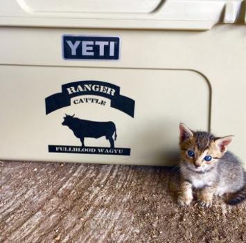 Ranger cattle's cat