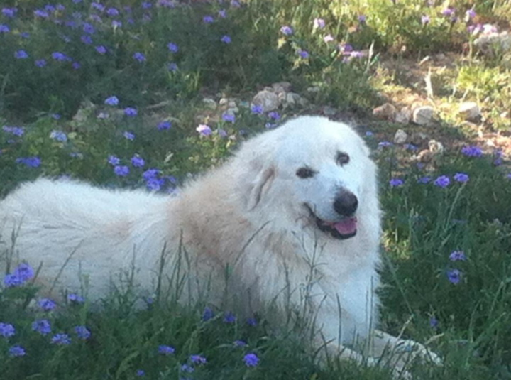 Great Pyrenees watch dog protecting the herd